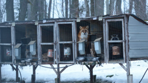 Photo courtesy of the Association for the Protection of Fur-Bearing Animals.